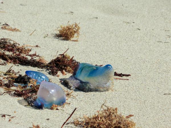 『浜辺のカツオノエボシ』の画像